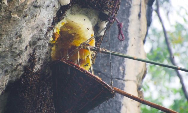 Shertukpens, Honey Hunters of Arunachal Pradesh – defying height and stings