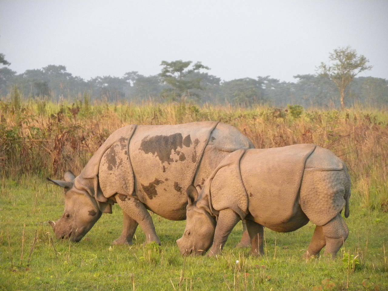 One Horned Rhino, Assam
