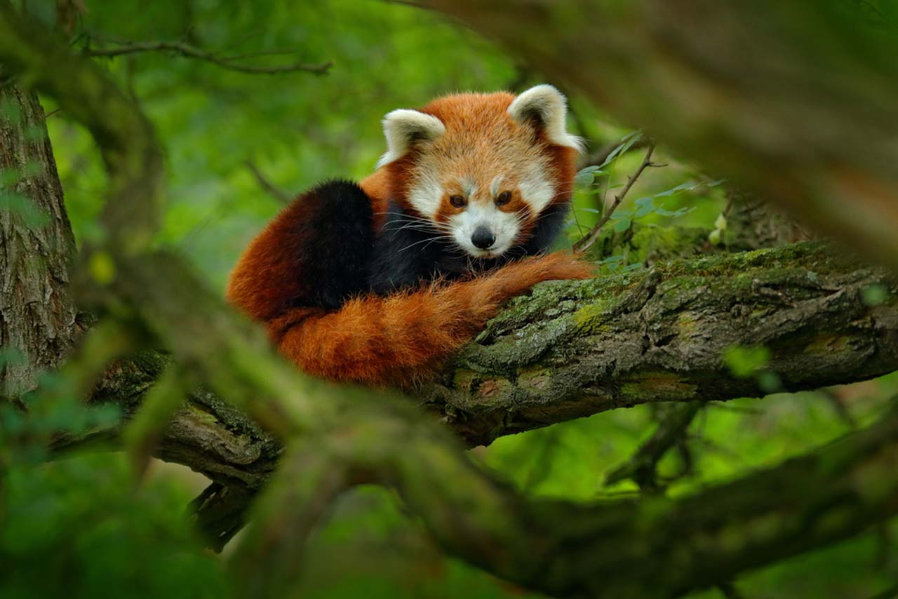 Red Panda, Sikkim